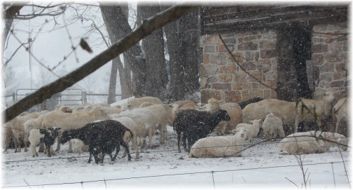 Sheep in snow 2/9/14
