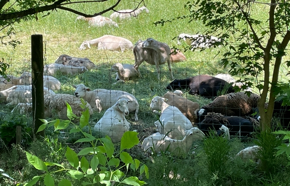 Sheep laying in green pasture along Chickies Creek