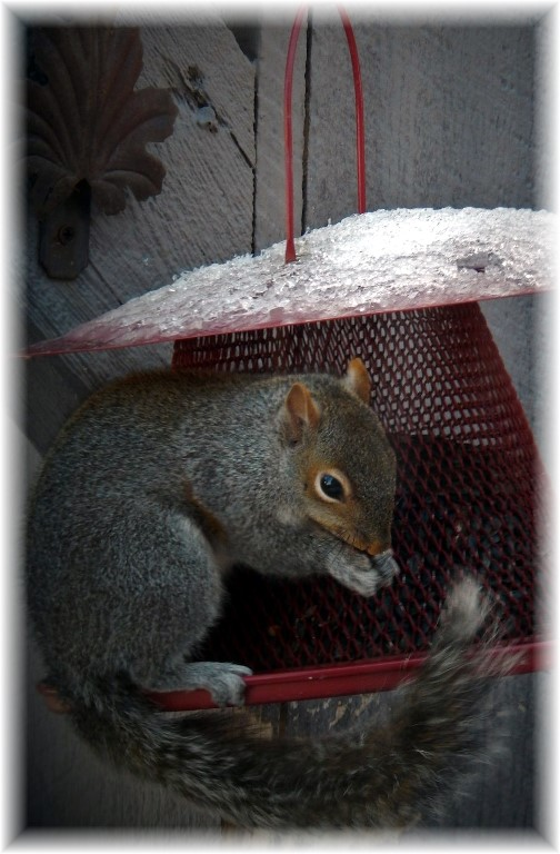 Squirrel feeding at squirrel-proof feeder! 2/5/18  (Photo by Ester Weber)