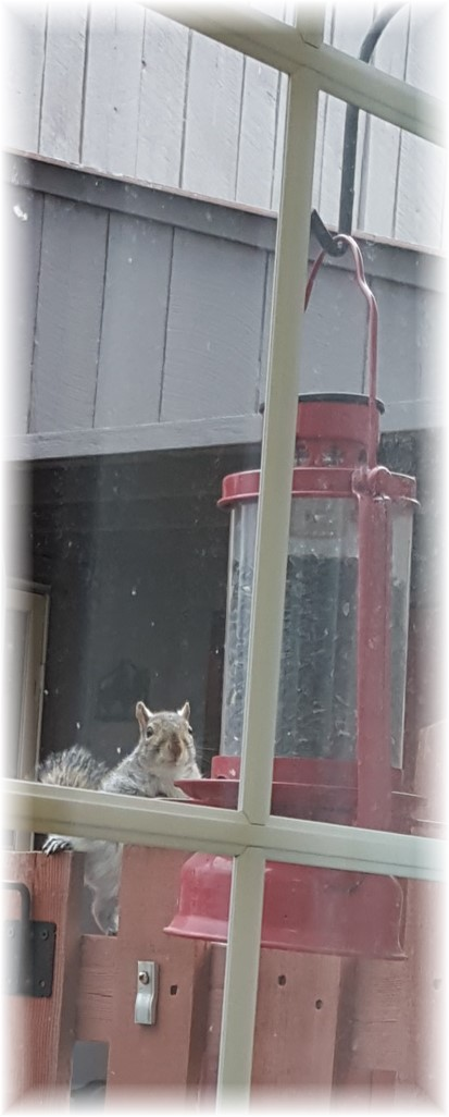 Squirrel at birdfeeder 1/18/16