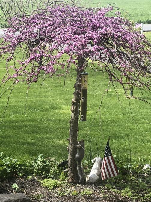 Squirrel climbing pink heartbreaker tree 4/19/20