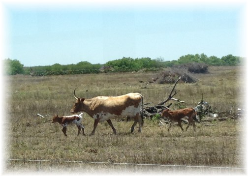 Longhorn cow with calves, King Ranch 5/3/14