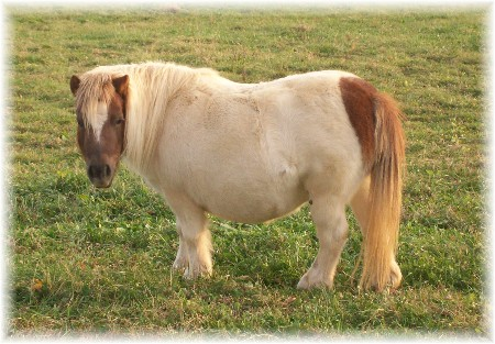 Miniature pony (about three feet tall)