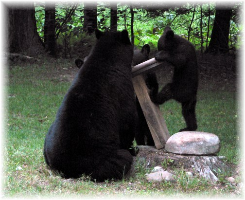 Tioga County PA bear family