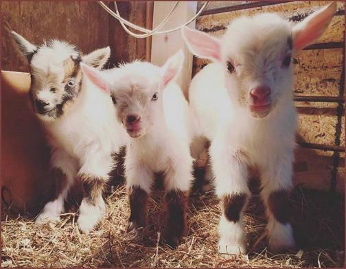 Triplet goats, photo by Regina Martin
