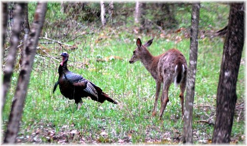 Deer and turkey in Tioga County, PA