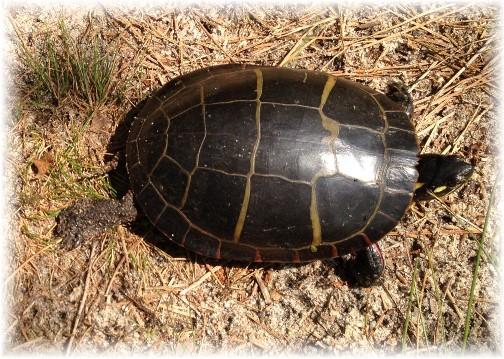 Turtle at Prime Hook National Wildlife Refuge 6/10/15