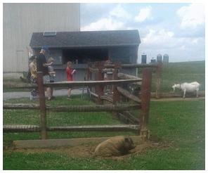 Wallowing pig on Old Windmill Farm