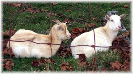 Photo of white goats in leaf-filled field