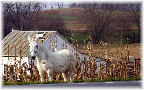 White horse in Lancaster PA 11/18/10