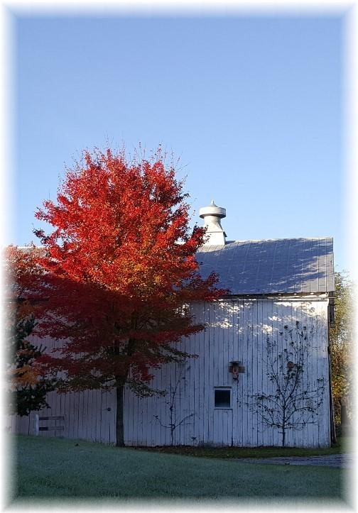 Tree next to barn 10/27/17