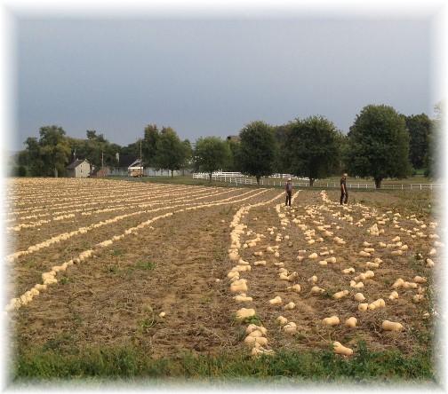Butternut Squash harvest 9/30/14