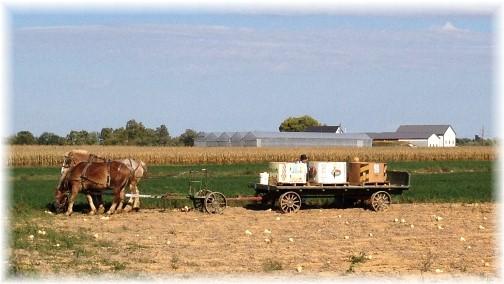 Butternut squash harvest, Lancaster County, PA 10/6/14