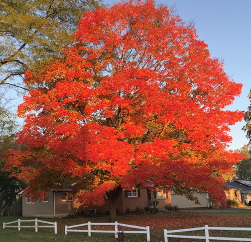 Maple tree on Strasburg Pike, Lancaster County, PA 10/24/19