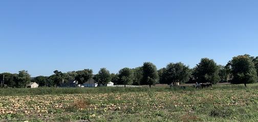 Squash harvest on Kraybill Church Road