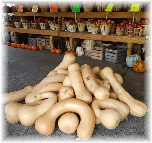 Village Farm Market neck pumpkins 10/5/17