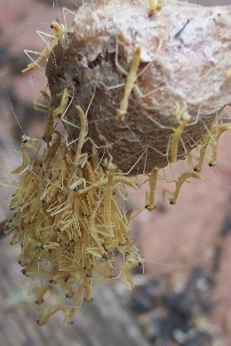 praying mantis eggs on christmas tree