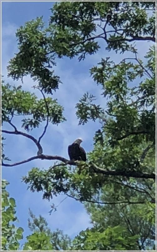 PA Grand Canyon bald eagle 7/29/18
