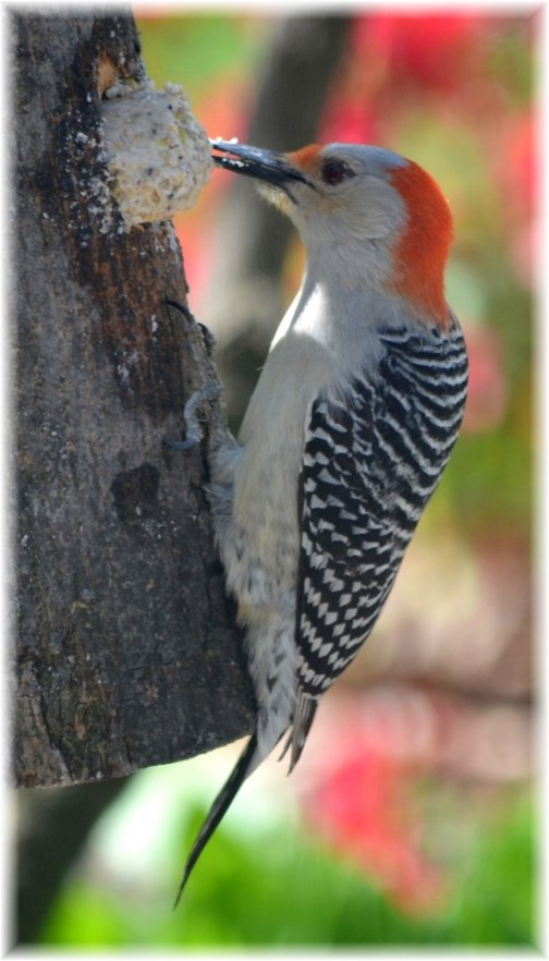 Red-bellied woodpecker (photo by Dois High)