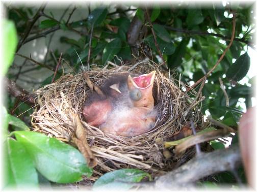 Baby birds 6/3/12