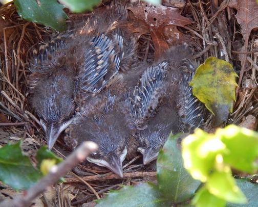 Baby birds in holly bush
