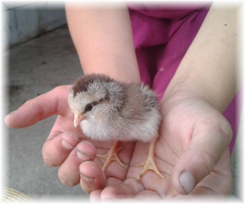 Baby chick on Old Windmill Farm (Photo by Jesse Lapp)