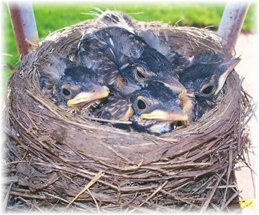 Baby robins (Photo by Loretha Joe)