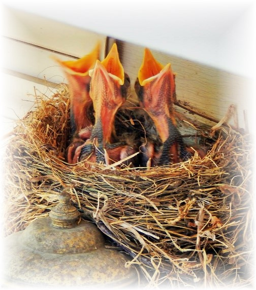 Baby robins 5/23/15 (photo by Ester)