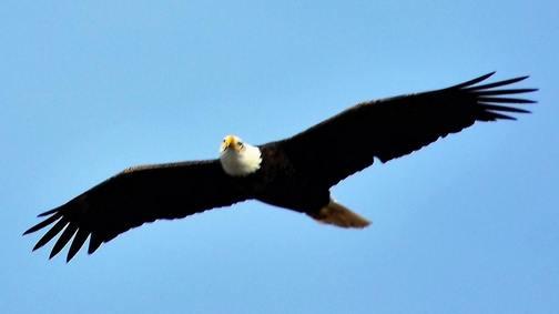 Bald eagle photo Doug Maxwell
