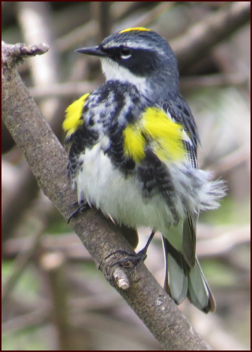 Donegal Creek yellow-rumped warbler (Joshua Binkley)