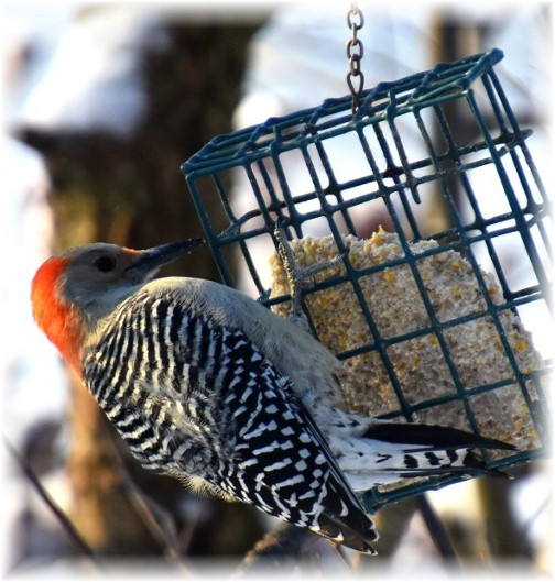 Woodpecker (Photo by Doris High)