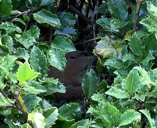 Nesting bird in holly bush
