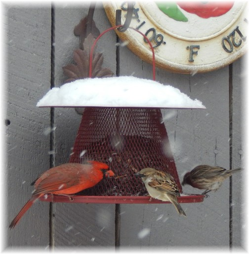 Birds feeding in snow 1/6/15