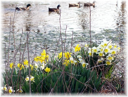 Blooms and mallards