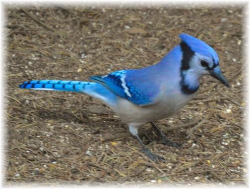 Blue Jay (Photo by Doug Maxwell)