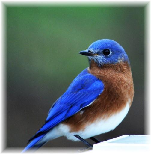 Blue bird at Maxwells