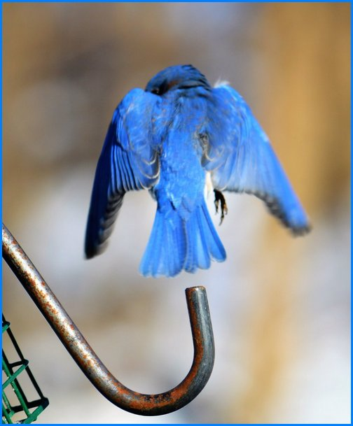 Bluebird (photo by Doug Maxwell)