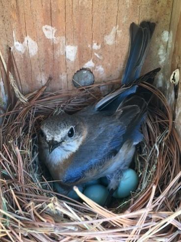 Bluebird (photo by Joe Sherer)