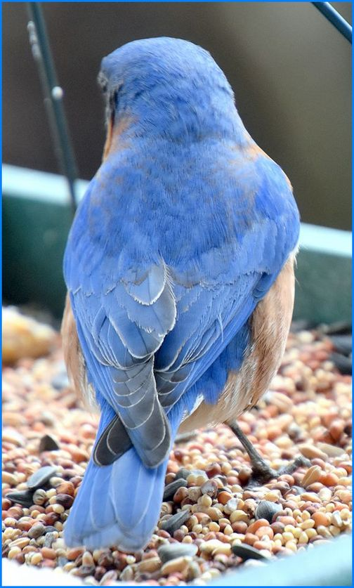 Eastern bluebird (Photo by Doris High)