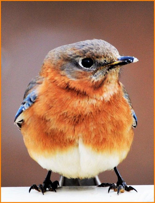 Bluebird (Doug Maxwell)