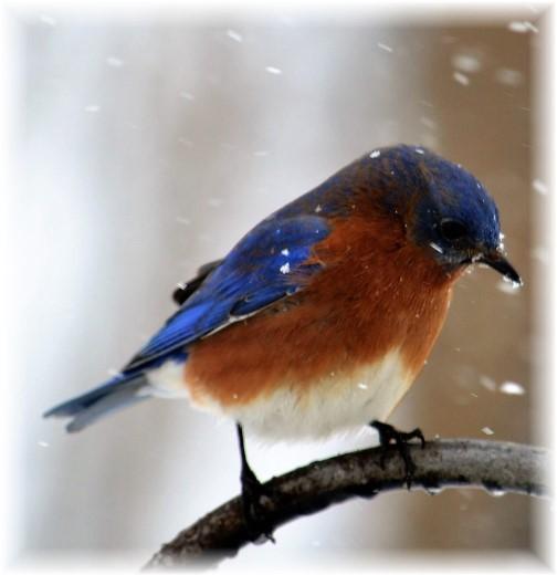 Bluebird in snow (Photo by Doug Maxwell)