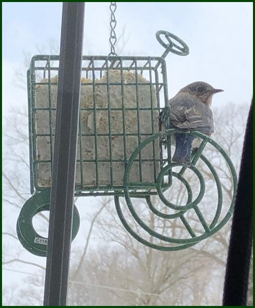 Bluebird on suet tractor 3/6/19