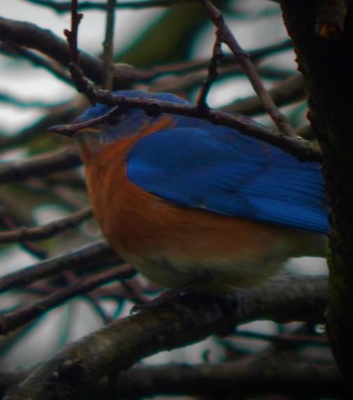 Bluebird (photo by Ester)