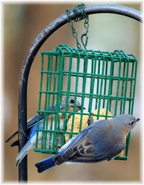 Birds 2/7/18  (Photo by Doug Maxwell)