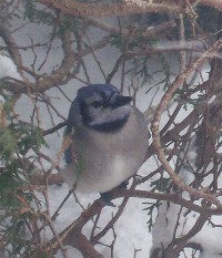 Bluejay in snow 2/10/10