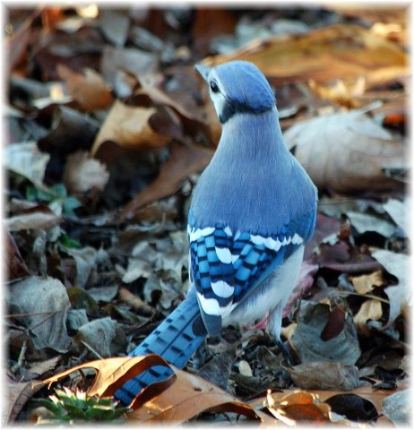 Bluejay on leaves (Photo by Doris High)