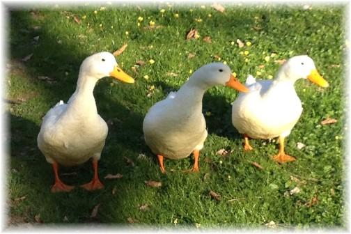 Cameron Estate duck family 4/24/14)