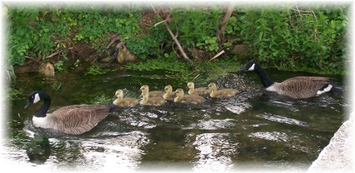 Canada Geese family on Donegal Creek 5/3/11