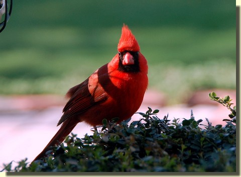Cardinal (photo by Doris High)