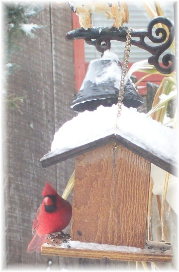 Cardinal at feeder in snow (1/18/11)